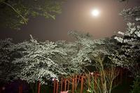 赤い鳥居と桜とお月さん橋本市丸高稲荷神社 - 峰さんの山あるき