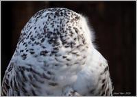 目線に注目シロフクロウ - 野鳥の素顔 <野鳥と日々の出来事>
