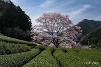 三重の桜 - toshi の ならはまほろば