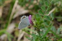 ■花と蝶 (2)21.3.30(ツバメシジミ、スジグロシロチョウ、モンシロチョウ) - 舞岡公園の自然2