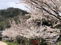 桜は綺麗だけど…。 - みつばち日記 ~Cucina38【厨房みつばち】の日々~