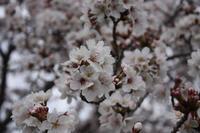 桜をYouTubeに - L'Écume des jours