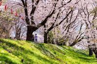 土手の桜 - 晴の日・雨の日
