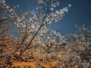 近くの小学校の夜桜 - こんばんは!のんちゃんです