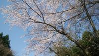 桜と青空 - 日々の風景