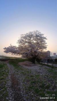 近所の桜(2021年版)散りゆく3 - 魔王の独り言 の続編
