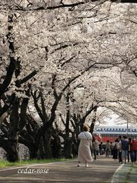 桜のトンネル - 瞳の記憶