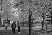 桜の木の下で - ON THE CORNER
