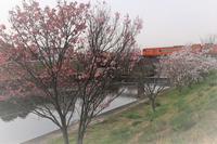 河津桜がまだ残っていた - ゆる鉄DEイコー!