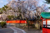 2021桜咲く京都 桜の神社(車折神社) - 花景色-K.W.C. PhotoBlog