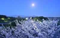 桜とチューリップの公園馬見丘陵公園 - 峰さんの山あるき