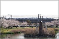 桜新幹線 - 野鳥の素顔 <野鳥と日々の出来事>
