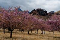 アスペクタの河津桜-人がいる風景 - Mark.M.Watanabeの熊本撮影紀行