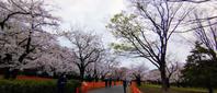ことしの桜も見納め - CROSS SKETCH