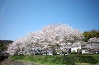 麓より1週間遅れで「桜」満開 - yoshiのGR散歩