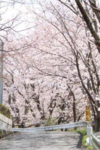 桜坂 - 猪こっと猛進