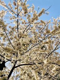 桜の季節に〜4月の出演予定〜 - マコト日記
