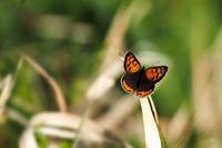今日の蝶は赤青黄色の3色です - スポック艦長のPhoto Diary