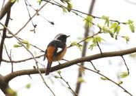 ジョウビタキ - 写真で綴る野鳥ごよみ