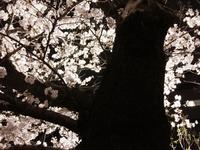 横浜へお花見散歩、5/5 ~ 砂押川の夜桜 - 某の雑記帳