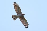 春期タカの渡り Ep4 - 野鳥の視線