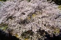 2021年の桜・・・妙了寺 - ウィンパパのフォトライフ(2)