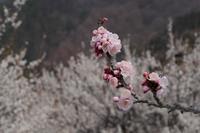 杏畑を歩いた日 - フォトな日々