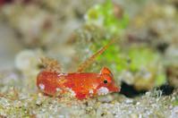 アカオビコテグリ - 沖縄 ダイビング 水中写真 フォトギャラリー