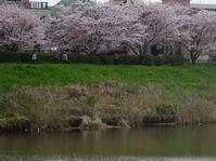 新川で桜花を堪能 - 花と葉っぱ