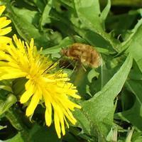 ビロウドツリアブBombylius major - 写ればおっけー。コンデジで虫写真