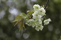 御衣黄桜 - ecocoro日和