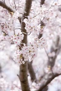 桜と共に♪ - Lovely Poodle