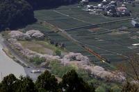 抜里の桜と茶畑- 大井川鉄道・2021年 - - ねこの撮った汽車