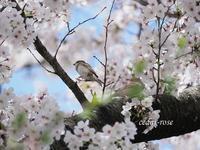 ご近所ソメイヨシノ - 瞳の記憶