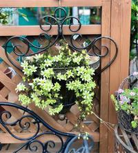 クレマチス〝ペトリエイ〟&〝ピクシー〟が8部咲きです♡と薬剤散布♫ - 薪割りマコのバラの庭