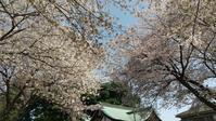 桜見散歩 - ちくちく薔薇たいむ(*^^*)