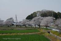 21散歩〜春春はサクラ - 散歩と写真 Fotografia é Passeggiata