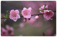 フォト倶楽部朝の撮影会~小砂の桃~ - キルトとステッチ時々にゃんこ