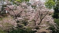井の頭公園の名残の桜 - 緑のかたつむり