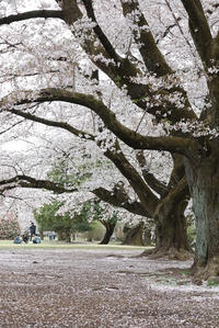 桜散るころ - ひのきよ