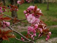 赤い桜花、そして川岸の花 - 花と葉っぱ