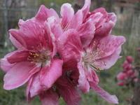 リンゴの花とスタンレイの花 - 自然農☆☆☆菜園日記