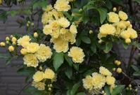 牡丹とバラ、どちらも早い今年の春 - バラとハーブのある暮らし Salon de Roses