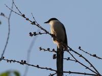 浮間公園~サンクチュアリにて4/3 - 青い鳥を探して