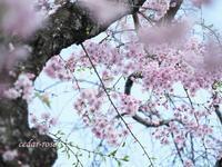 枝垂れ桜 - 瞳の記憶