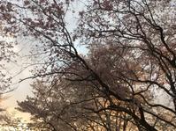 名残りの桜 - 花の自由旋律