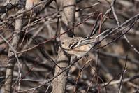 みちのく春の小鳥2 - みちのくの大自然