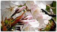 枝垂れ桜と妖精 - どんぐりの木の下で……