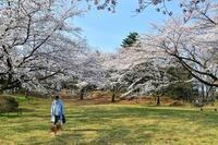 長命館公園のソメイヨシノ - 写心食堂