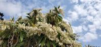 聖徳寺の花と我が家の花@福島県石川町 - 963-7837